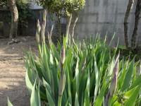 その向こうにはジャーマンアイリスが開花を待っています。